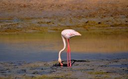 Prevalently pink plumage flamingo searching food in the mud of Ras al Khor sunctuary. Prevalently pink plumage flamingo searching food in the mud of Ras al Khor Stock Images