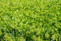 Preview green field plant millet background Stock Images