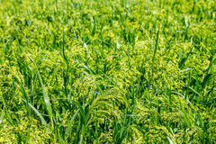 Preview green field plant millet background Stock Image