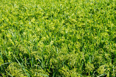 Preview green field plant millet background Royalty Free Stock Photo
