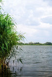 Preview landscape river reeds and stems Stock Image