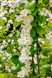 Preview plant twig flower blooming jasmine Stock Images