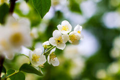 Preview plant twig flower blooming jasmine Stock Photo