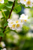 Preview plant twig flower blooming jasmine Royalty Free Stock Photo