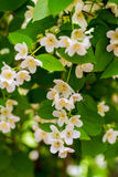 Preview plant twig flower blooming jasmine Royalty Free Stock Image