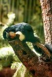 Prevost's squirrel. Or Asian tri-colored squirrel (Callosciurus prevostii stock photography