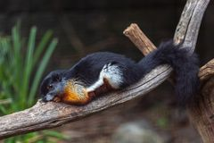 Prevost`s Squirrel Lying on Branch stock image
