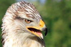 prey птицы Стоковые Фотографии RF