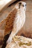prey птицы Стоковые Изображения