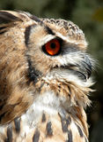 prey птицы Стоковая Фотография