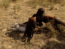 prey хоука harris бой Стоковое Изображение RF