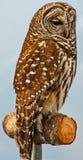 prey 2 птиц Стоковая Фотография