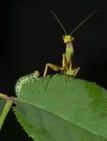 prey хищника стороны к Стоковое фото RF