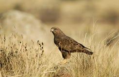 prey buzzards Стоковое Фото