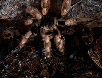 Prey-Predator. The Brazilian Tarantula and Blaberus craniifer BlackWing Stock Photo