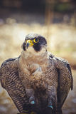 Prey raptor, peregrine falcon with open wings , bird of high spe Royalty Free Stock Photos