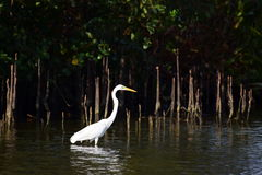 Prey stalking egret. Deep in the mangrove forests of coastal Kerala, I spotted this egret stalking its prey. The patience with which it waits to make the final Royalty Free Stock Photography