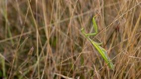 Preying bönsyrsa som förföljer kryp i högt gräs arkivfoton