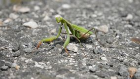 Preying Mantis stockfoto