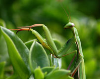 Preying Mantis Stock Photos