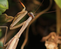 Preying Mantis Lizenzfreie Stockfotos
