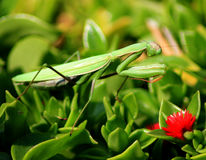Preying Mantis Royalty Free Stock Image