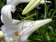 Preying Mantis. Praying mantis on white lily stock photography