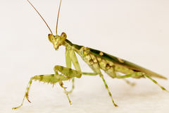 Preying Mantis. Green preying mantis on a white background Stock Image