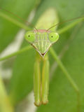 preying Mantis Stockfoto