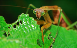 Preying mantis. Vigilantly stay on leaves Stock Image
