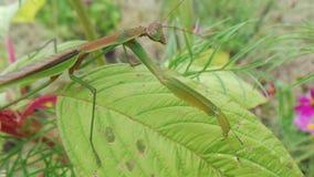 Preying Mantis Στοκ Φωτογραφία