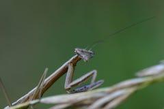 Preying Mantis. Looking at camera Stock Photo