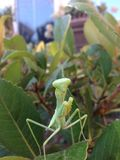 Preying mantis close up. Preying mantis from front Royalty Free Stock Images