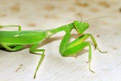 Preying mantis. Closeup detailed shot of preying mentis Royalty Free Stock Photo