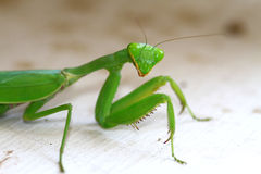 Preying mantis. Closeup detailed shot of preying mentis Royalty Free Stock Images