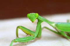 Preying mantis Stock Images