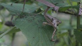 Preying mantis eating a small frog. At the night stock video