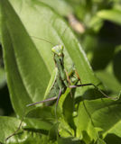 Preying Mantis. In green nature looking at the camera Stock Images