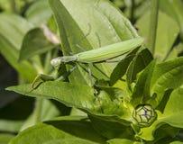 Preying Mantis. In green nature looking at the camera Royalty Free Stock Photo