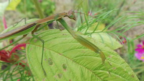 Preying Mantis. On a Leaf Stock Photography