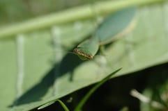 Preying mantis looking Royalty Free Stock Photos