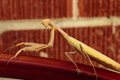 A preying mantis looking right at you. A preying mantis on a stalk of rhubarb looking right at you Stock Images