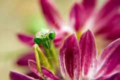 Preying mantis on mum. Green praying mantis on the petals of a chrysanthemum royalty free stock images