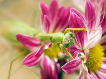Preying mantis on mum. Green praying mantis on the petals of a chrysanthemum stock images