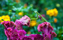 Preying Mantis Royalty Free Stock Photos