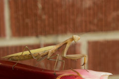 A preying mantis on rhubarb looking right at you. A preying mantis on a stalk of rhubarb sizing you up Stock Images