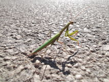 Praying mantis on the road Stock Images