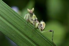 Preying Mantis in Thailand. Stock Photos