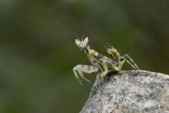 Preying Mantis in Thailand. Royalty Free Stock Photography