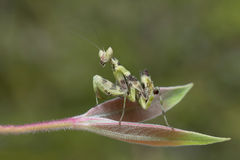 Preying Mantis in Thailand. Royalty Free Stock Image